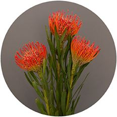 PROTEA PIN CUSHION
