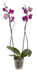 "5"" DOUBLE ORCHID"