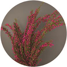 BORONIA HEATHER